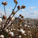 Is organic cotton better than conventional cotton?